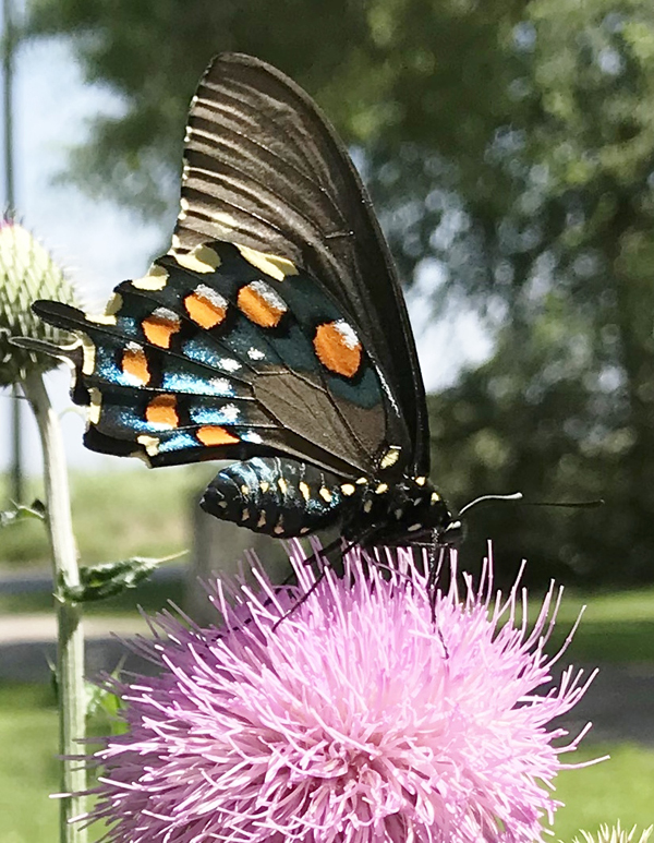 Pipevine-Swallowtail-on-Texas-Thistle-by-Anita-Westervelt