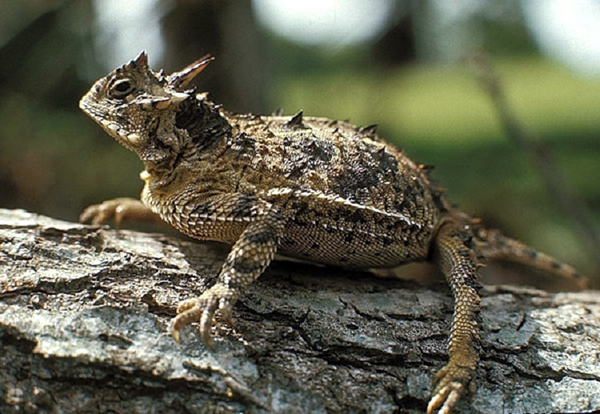 "The Texas Horned Lizard, also called a ""horny toad,"" is one of 1,310 species at risk of becoming extinct in the state. Photo: Texas Parks and Wildlife"
