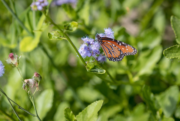 The Lower Rio Grande Valley is home to nearly 40 percent of the 700 species of butterflies found in the United States. Now, the UTRGV biology department is hoping to attract as many of those as it can with a new butterfly garden on the Brownsville Campus. Dr. Lucia Carreon Martinez, UTRGV biology lecturer who is spearheading the project, said conservation is vital because butterflies and other pollinators are threatened by habitat loss due to development, pesticide and herbicide use, and are a vital part of the Valley's ecological balance. Construction on the garden started in February, and volunteers now help maintain the site. Photo: David Pike/UTRGV